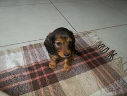 Izzie, chien Teckel