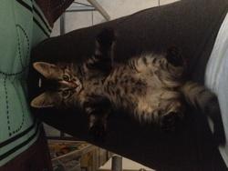 Izzie, chat Européen