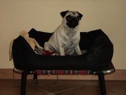 Izzie, chien Carlin