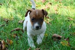 Izzie, chien Jack Russell Terrier