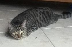 Izzie, chat Gouttière