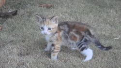 Izzy, chat Européen