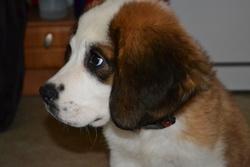 Izzy, chien Saint-Bernard
