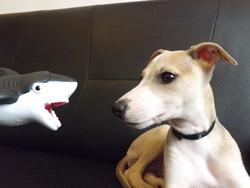 Izzy, chien Whippet