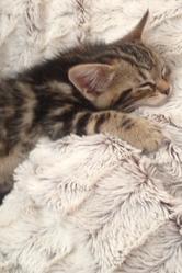 Izzy, chat Gouttière