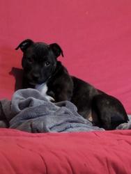 Izzy, chien Staffordshire Bull Terrier