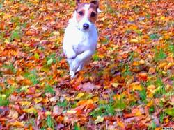Izzy, chien Jack Russell Terrier