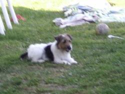 Izzy, chien Fox-Terrier
