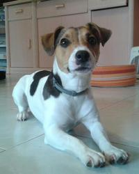 Izzy, chien Jack Russell Terrier