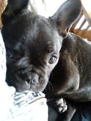 Izzy, chien Bouledogue français