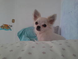 Izzy, chien Chihuahua