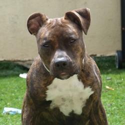 Izzy, chien American Staffordshire Terrier