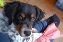 Izzy, chien Épagneul breton