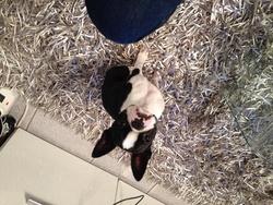 Izzy, chien Terrier de Boston