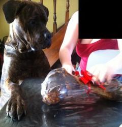 Izzy, chien Cane Corso