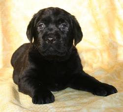 Izzy, chien Labrador Retriever