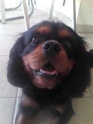 J'Adore, chien Cavalier King Charles Spaniel