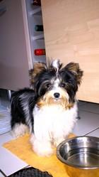 J'Adore De Dior , chien Yorkshire Terrier