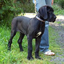 J'Adore, chien Dogue allemand
