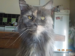 J'Aime, chat Maine Coon