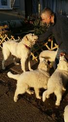 J'Charly De La Vallée Du Sidobre, chien Chien de montagne des Pyrénées