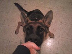 J'Goliath, chien Berger allemand