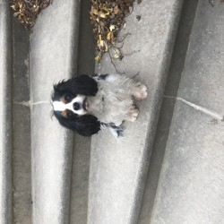 Andy, chien Cavalier King Charles Spaniel