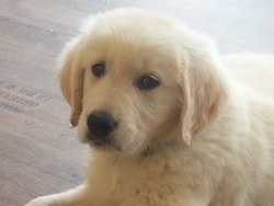 Jaack, chien Golden Retriever