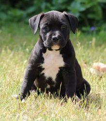 Jaafar, chien American Staffordshire Terrier