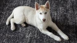 Jaana, chien Husky sibérien