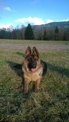 Jabahl, chien Berger allemand