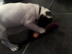 Jabba, chien Bouledogue français