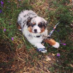 Jabba, chien Berger australien