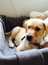 Jace, chien Labrador Retriever