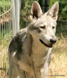Jacée, chien Chien-loup de Saarloos