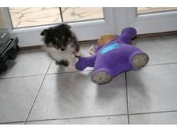 Jacinthe, chien Berger des Shetland