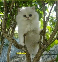 Jacynthe, chat Persan