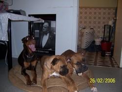 Jack, chien Dobermann