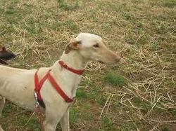 Jack, chien Lévrier espagnol