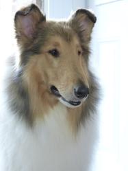 Jack, chien Colley à poil long