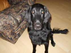 Jack, chien Flat-Coated Retriever