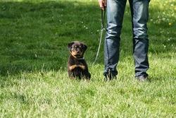 Jack, chien Rottweiler