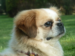 Jack, chien Épagneul tibétain