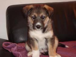 Jack, chien Husky sibérien