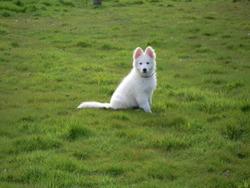 Jack, chien Berger blanc suisse