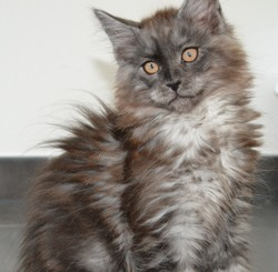 Jack, chat Maine Coon