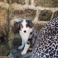 Jack, chien Berger australien