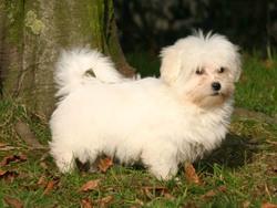 Jack, chien Coton de Tuléar
