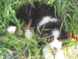 Jack, chien Bouvier bernois