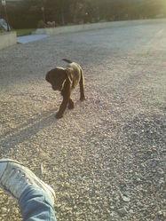 Jack, chien Labrador Retriever